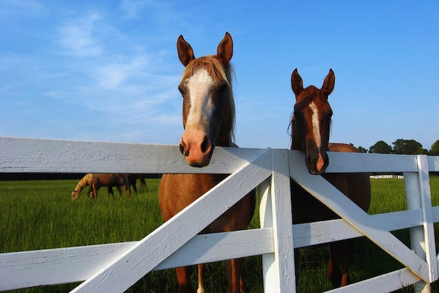 Corona Virus in Horses - Symptoms, Causes, Diagnosis, Treatment, Recovery, Management, Cost