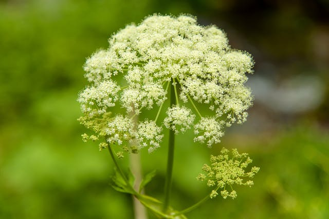 Cow Parsnip Poisoning in Horses - Symptoms, Causes, Diagnosis, Treatment, Recovery, Management, Cost