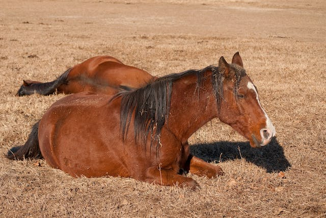 Cranial and Caudal Cruciate Ligament in Horses - Symptoms, Causes, Diagnosis, Treatment, Recovery, Management, Cost