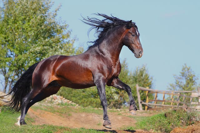 Cryptorchidism in Horses - Symptoms, Causes, Diagnosis, Treatment, Recovery, Management, Cost