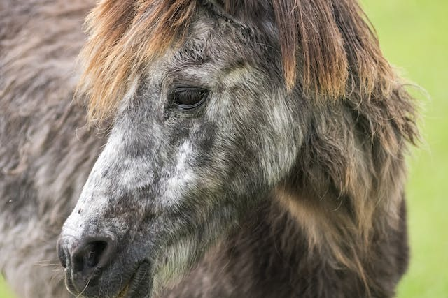 Cushing's Syndrome in Horses - Symptoms, Causes, Diagnosis, Treatment, Recovery, Management, Cost