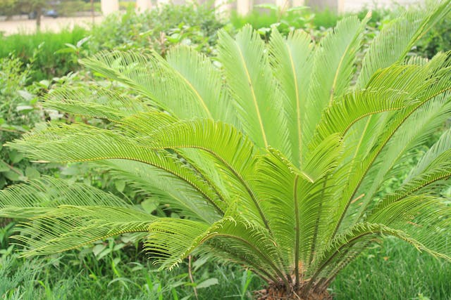 Cycads Poisoning in Horses - Symptoms, Causes, Diagnosis, Treatment, Recovery, Management, Cost