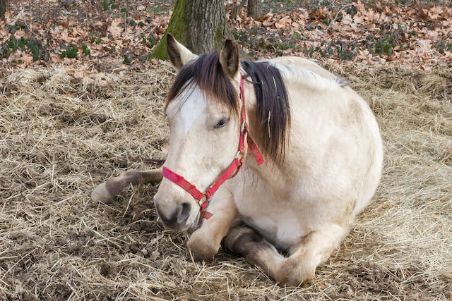 Cysts (Epidermoid) in Horses - Symptoms, Causes, Diagnosis, Treatment, Recovery, Management, Cost