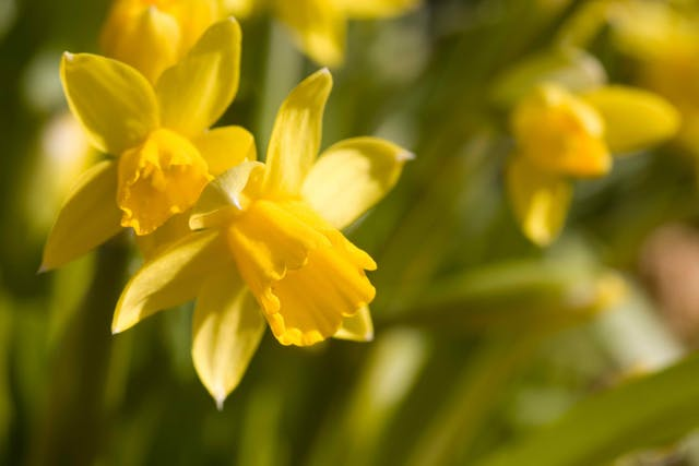 Daffodil Poisoning in Horses - Symptoms, Causes, Diagnosis, Treatment, Recovery, Management, Cost