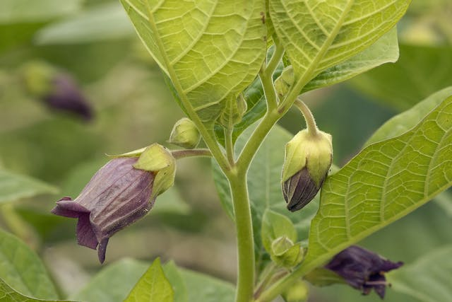 Deadly Nightshade Poisoning in Horses - Symptoms, Causes, Diagnosis, Treatment, Recovery, Management, Cost