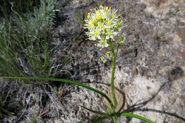 Death Camas Poisoning in Horses - Symptoms, Causes, Diagnosis, Treatment, Recovery, Management, Cost
