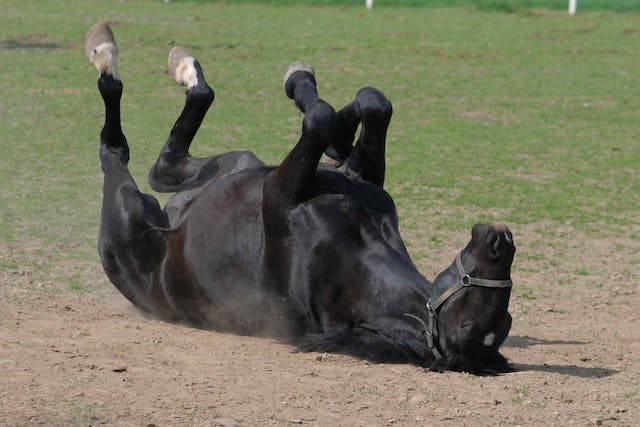 Degenerative Joint Disease in Horses - Symptoms, Causes, Diagnosis, Treatment, Recovery, Management, Cost