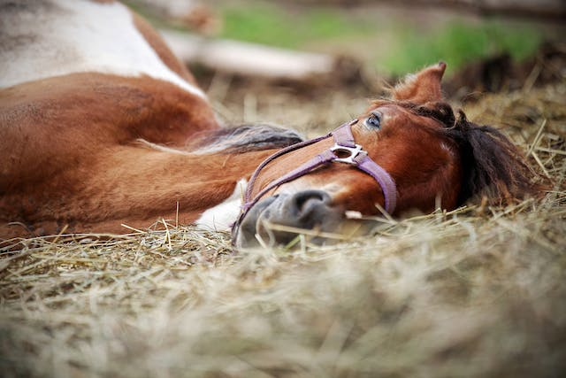 Dehydration in Horses - Symptoms, Causes, Diagnosis, Treatment, Recovery, Management, Cost