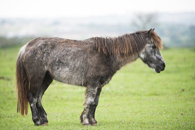 Demodectic Mange in Horses - Symptoms, Causes, Diagnosis, Treatment, Recovery, Management, Cost