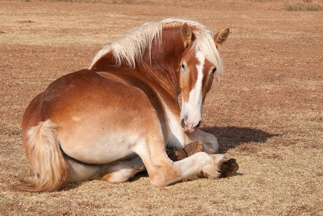 Developmental Orthopedic Disease in Horses - Symptoms, Causes, Diagnosis, Treatment, Recovery, Management, Cost