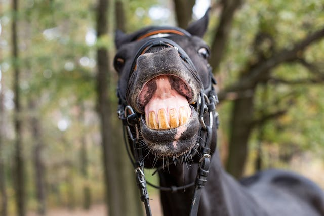 Diastema in Horses - Symptoms, Causes, Diagnosis, Treatment, Recovery, Management, Cost