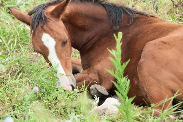 Dystocia (Difficult Birth) in Horses - Symptoms, Causes, Diagnosis, Treatment, Recovery, Management, Cost
