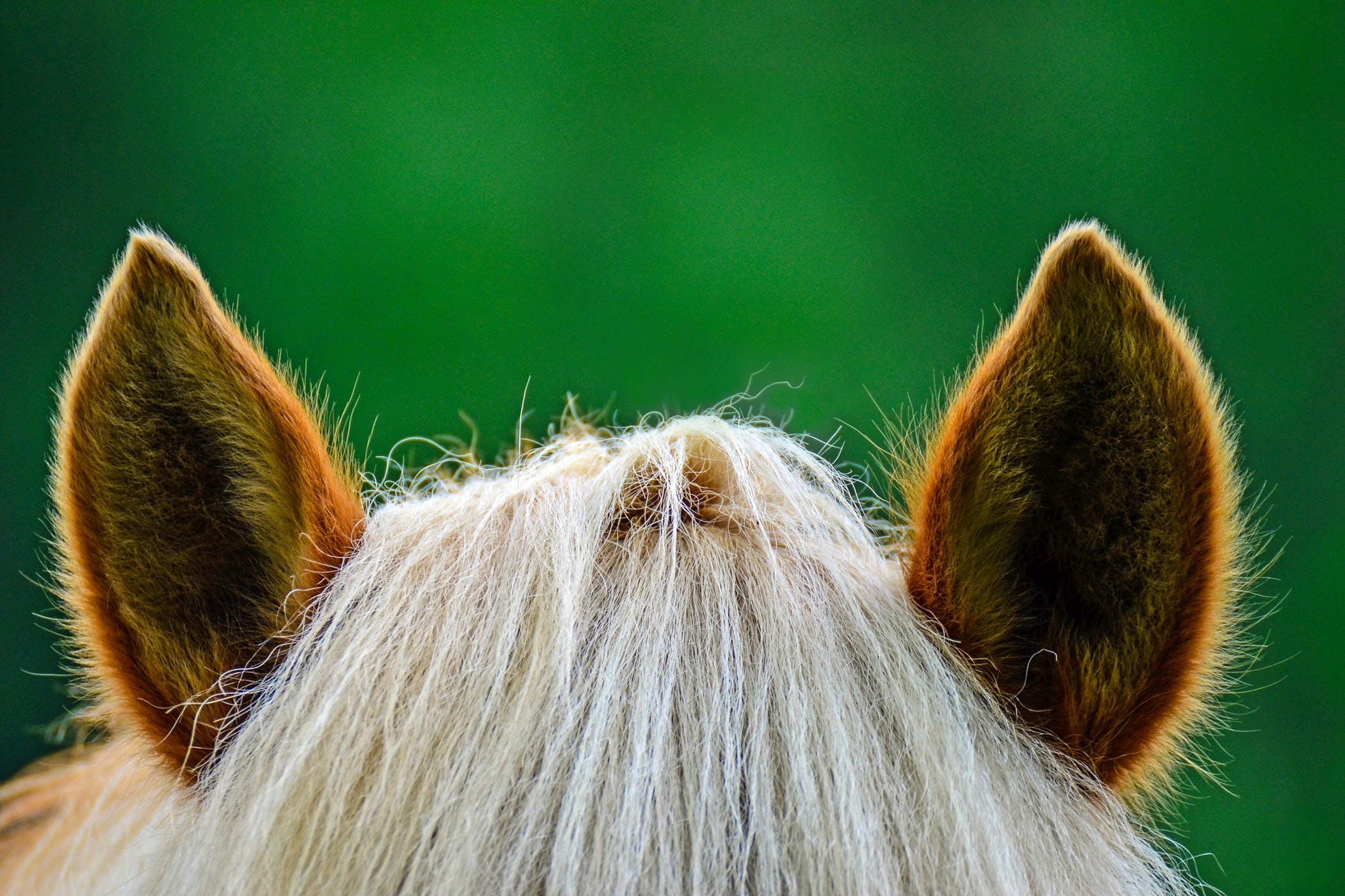 Ear Mites In Horses Symptoms Causes Diagnosis