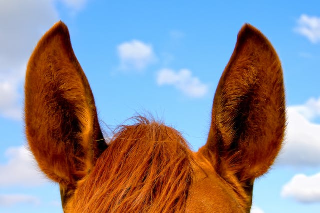 Ear Papillomas in Horses - Symptoms, Causes, Diagnosis, Treatment, Recovery, Management, Cost
