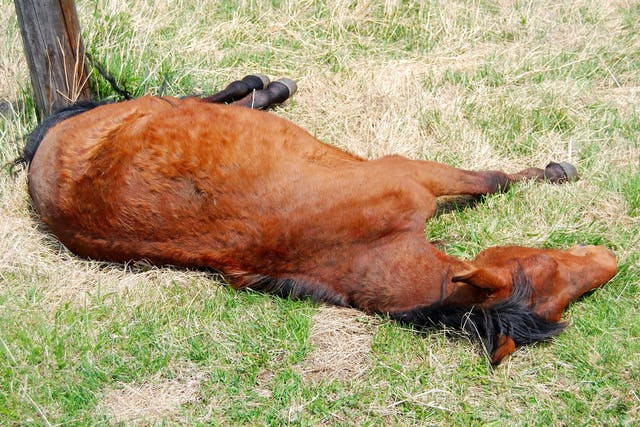 Ehrlichiosis in Horses - Symptoms, Causes, Diagnosis, Treatment, Recovery, Management, Cost