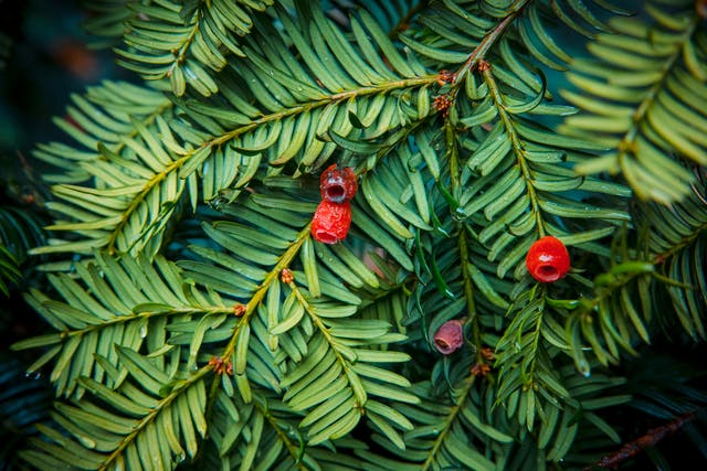 English Yew Poisoning in Horses - Symptoms, Causes, Diagnosis, Treatment, Recovery, Management, Cost