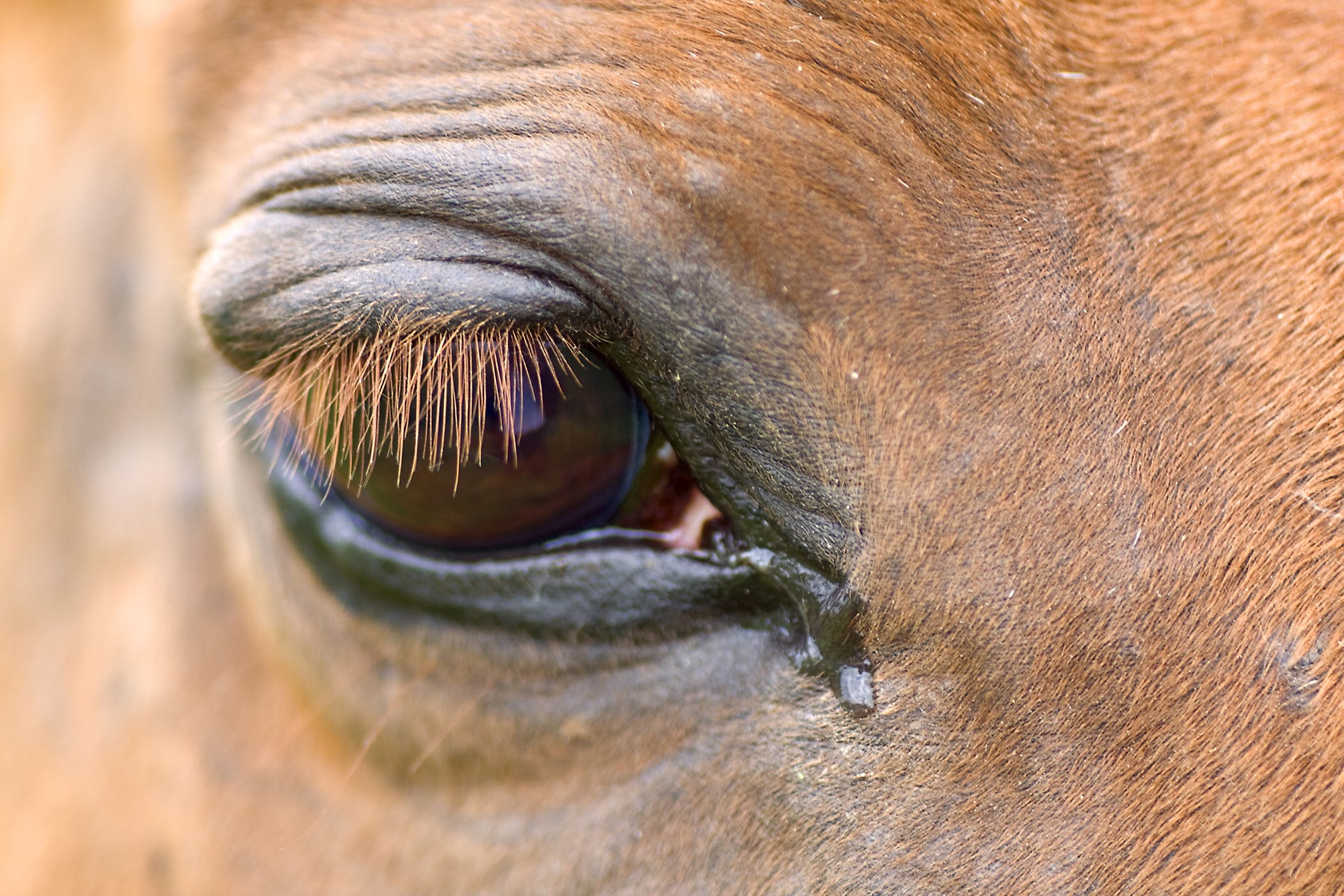 Entropion In Horses Symptoms Causes Diagnosis Treatment