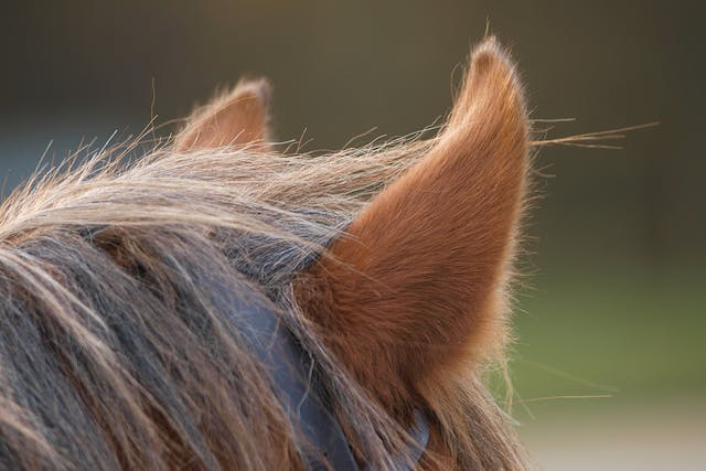 Equine Coital Exanthema (Horse Pox) in Horses - Symptoms, Causes, Diagnosis, Treatment, Recovery, Management, Cost
