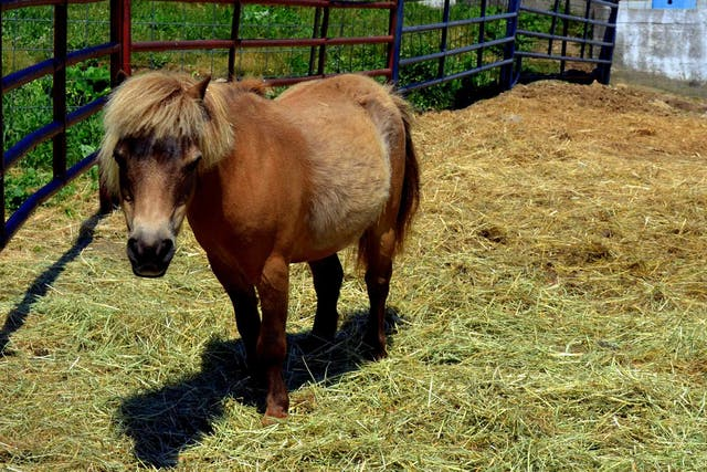 Equine Metabolic Syndrome in Horses - Symptoms, Causes, Diagnosis, Treatment, Recovery, Management, Cost