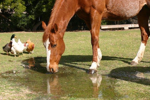 Equine Protozoal Myeloencephalitis in Horses - Symptoms, Causes, Diagnosis, Treatment, Recovery, Management, Cost