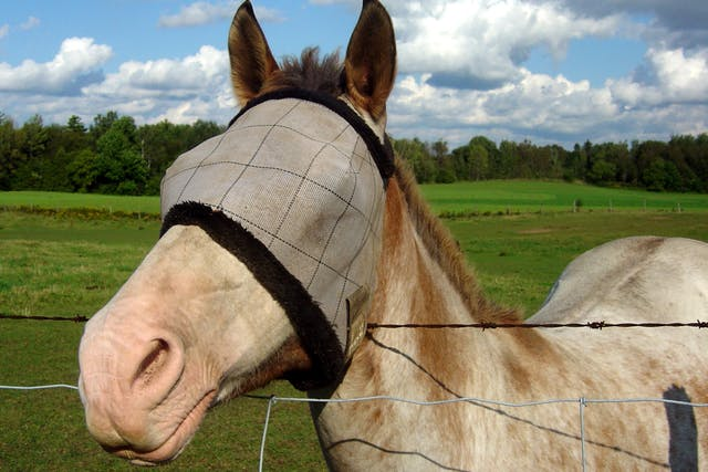 Equine Recurrent Uveitis in Horses - Symptoms, Causes, Diagnosis, Treatment, Recovery, Management, Cost