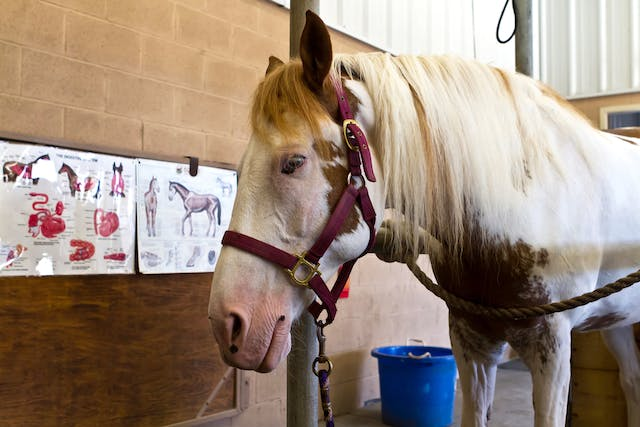 Equine Self Mutilation Syndrome in Horses - Symptoms, Causes, Diagnosis, Treatment, Recovery, Management, Cost