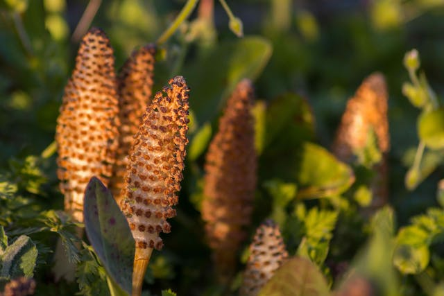 Equisetum Poisoning in Horses - Symptoms, Causes, Diagnosis, Treatment, Recovery, Management, Cost