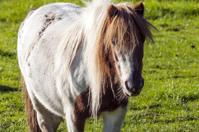 Exercise-Induced Pulmonary Hemorrhage in Horses - Symptoms, Causes, Diagnosis, Treatment, Recovery, Management, Cost