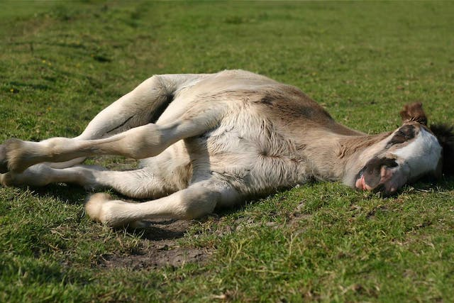 Exertional Rhabdomyolysis in Horses - Symptoms, Causes, Diagnosis, Treatment, Recovery, Management, Cost