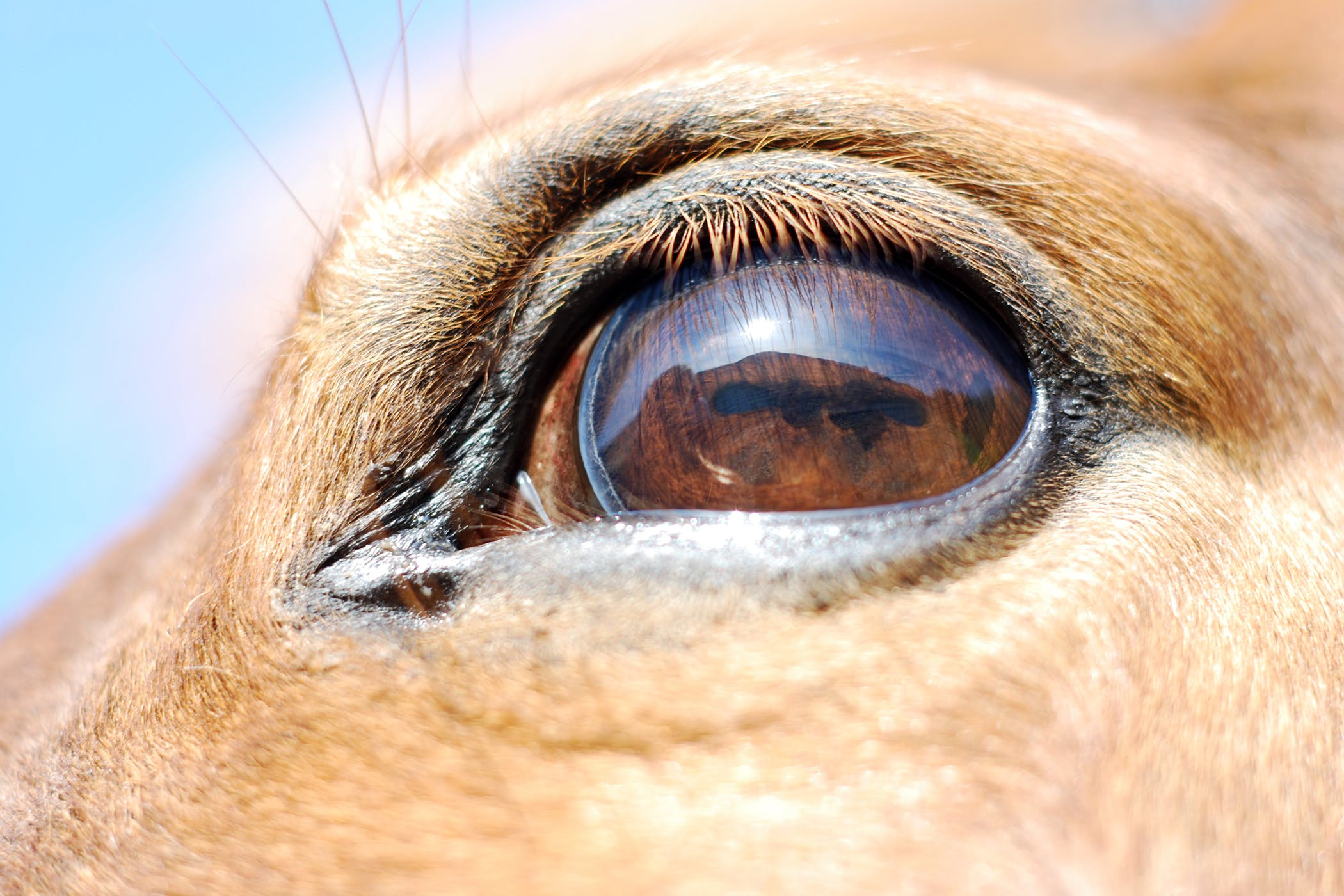 thelazia lacrymalis horse