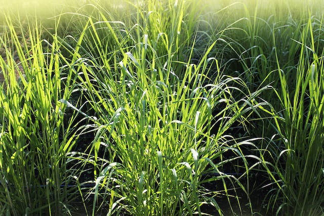 Fall Panicum Grass Poisoning in Horses - Symptoms, Causes, Diagnosis, Treatment, Recovery, Management, Cost