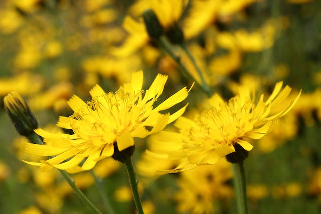 False Dandelion Poisoning in Horses - Symptoms, Causes, Diagnosis, Treatment, Recovery, Management, Cost