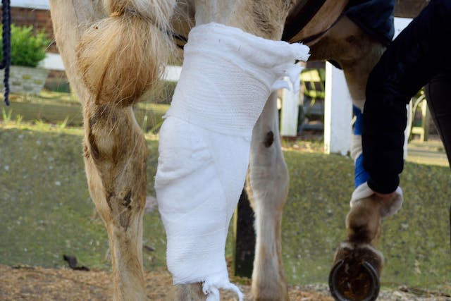 False Thoroughpin in Horses - Symptoms, Causes, Diagnosis, Treatment, Recovery, Management, Cost