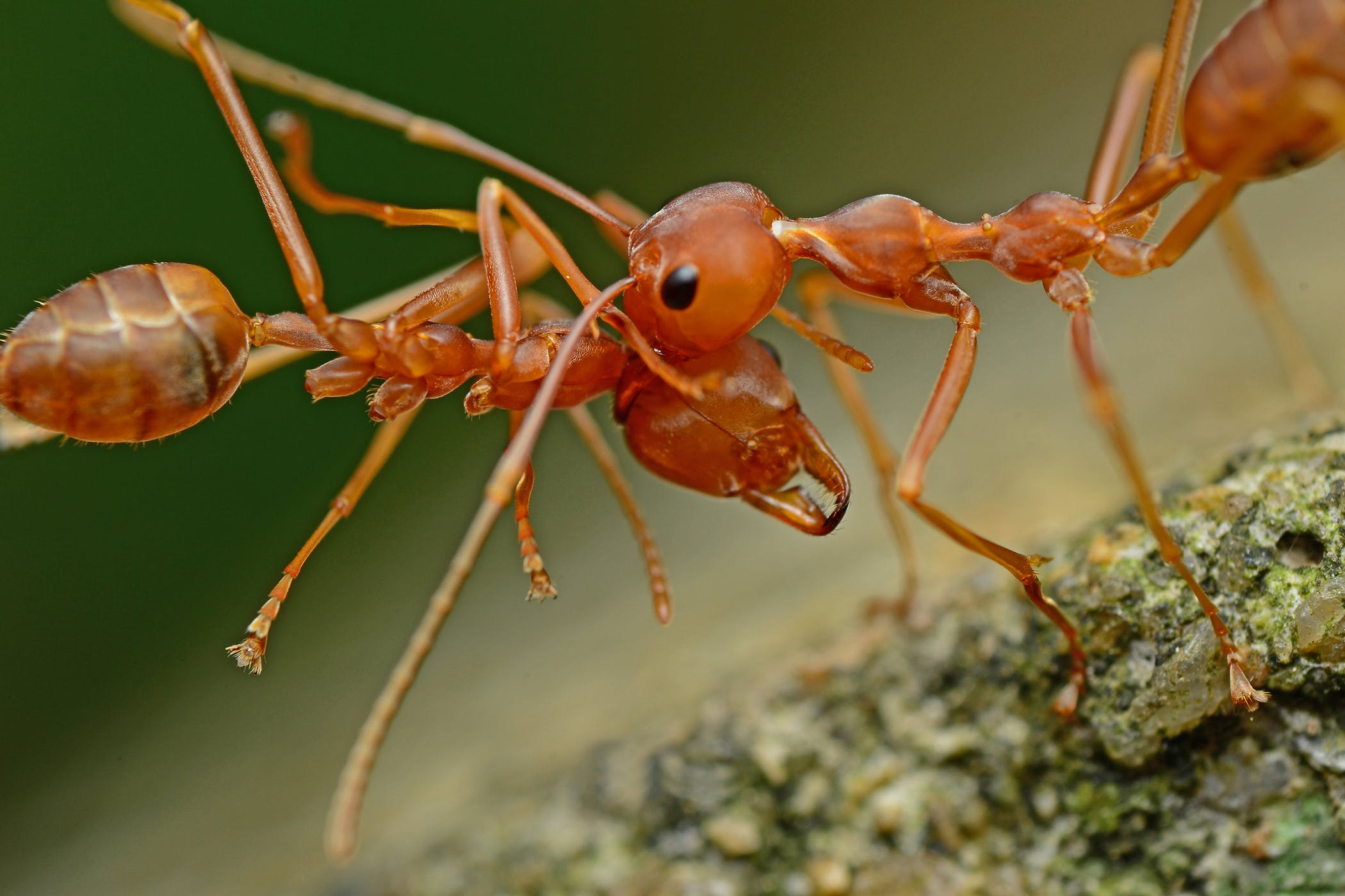 Fire Ant Bites In Horses Symptoms Causes Diagnosis