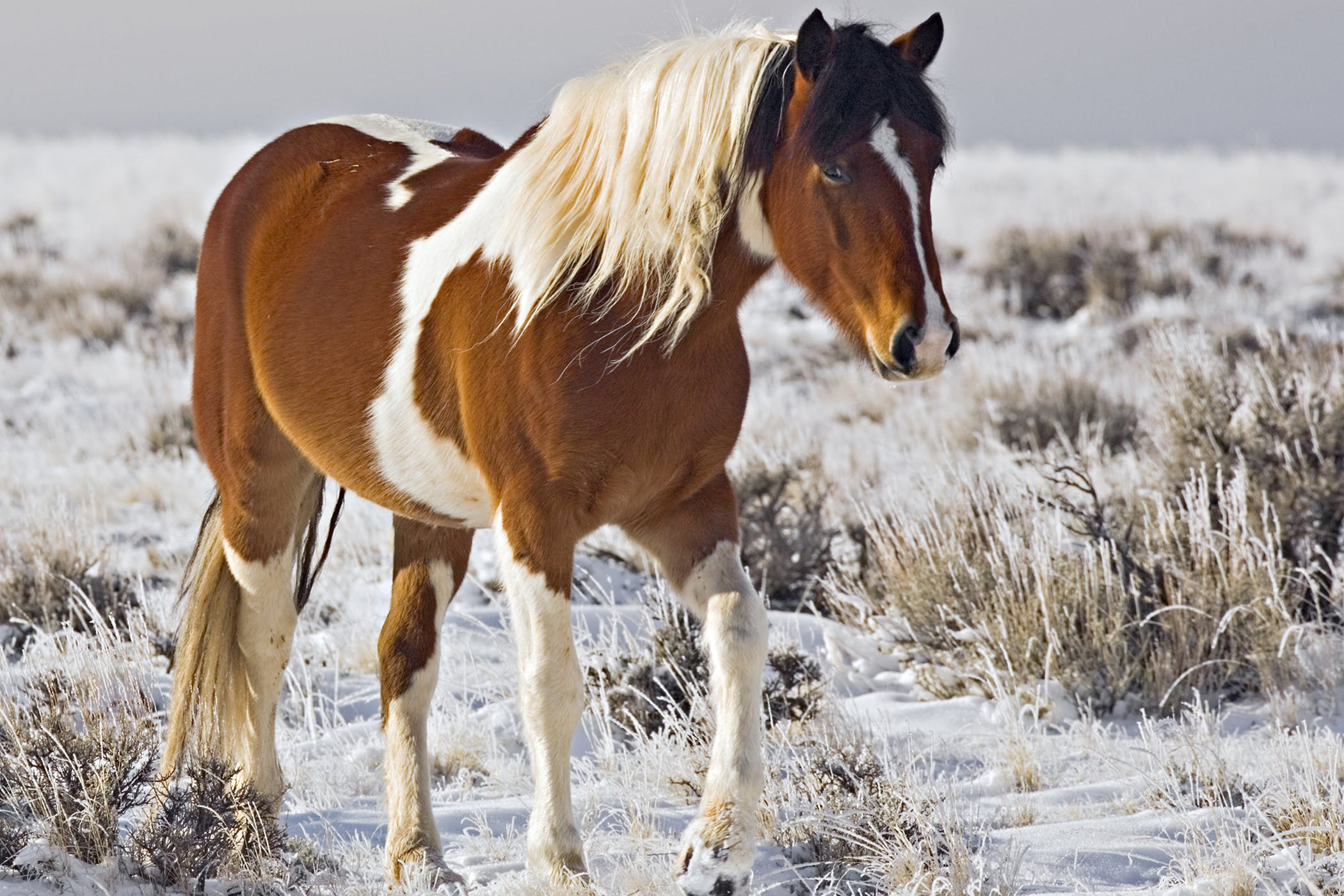 Fistulous Withers in Horses - Symptoms, Causes, Diagnosis, Treatment ...