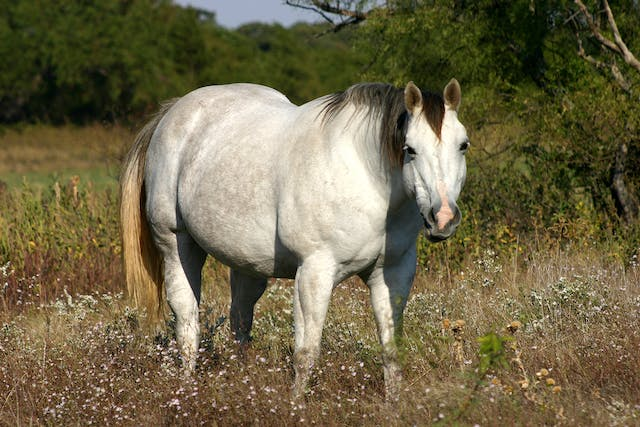 Flu Vaccine Allergy in Horses - Symptoms, Causes, Diagnosis, Treatment, Recovery, Management, Cost