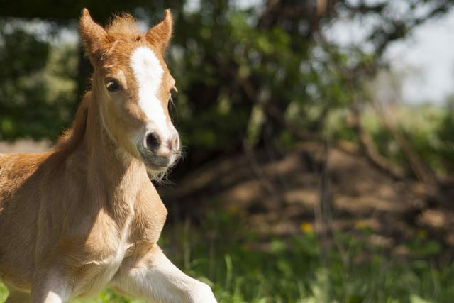Foal Heat Diarrhea in Horses - Symptoms, Causes, Diagnosis, Treatment, Recovery, Management, Cost