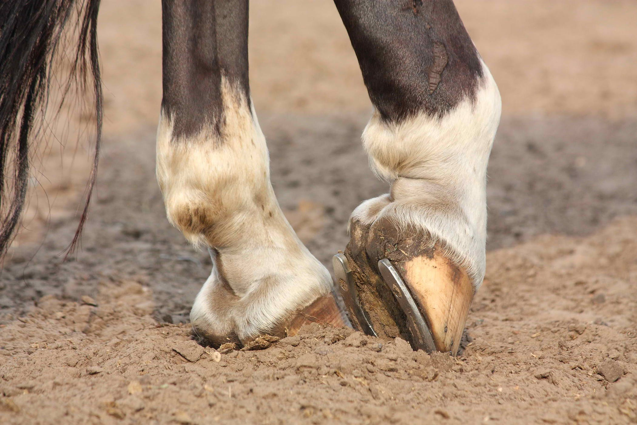 Forging In Horses Symptoms Causes Diagnosis Treatment