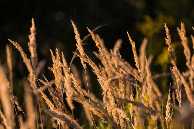 Foxtail Barley Poisoning in Horses - Symptoms, Causes, Diagnosis, Treatment, Recovery, Management, Cost