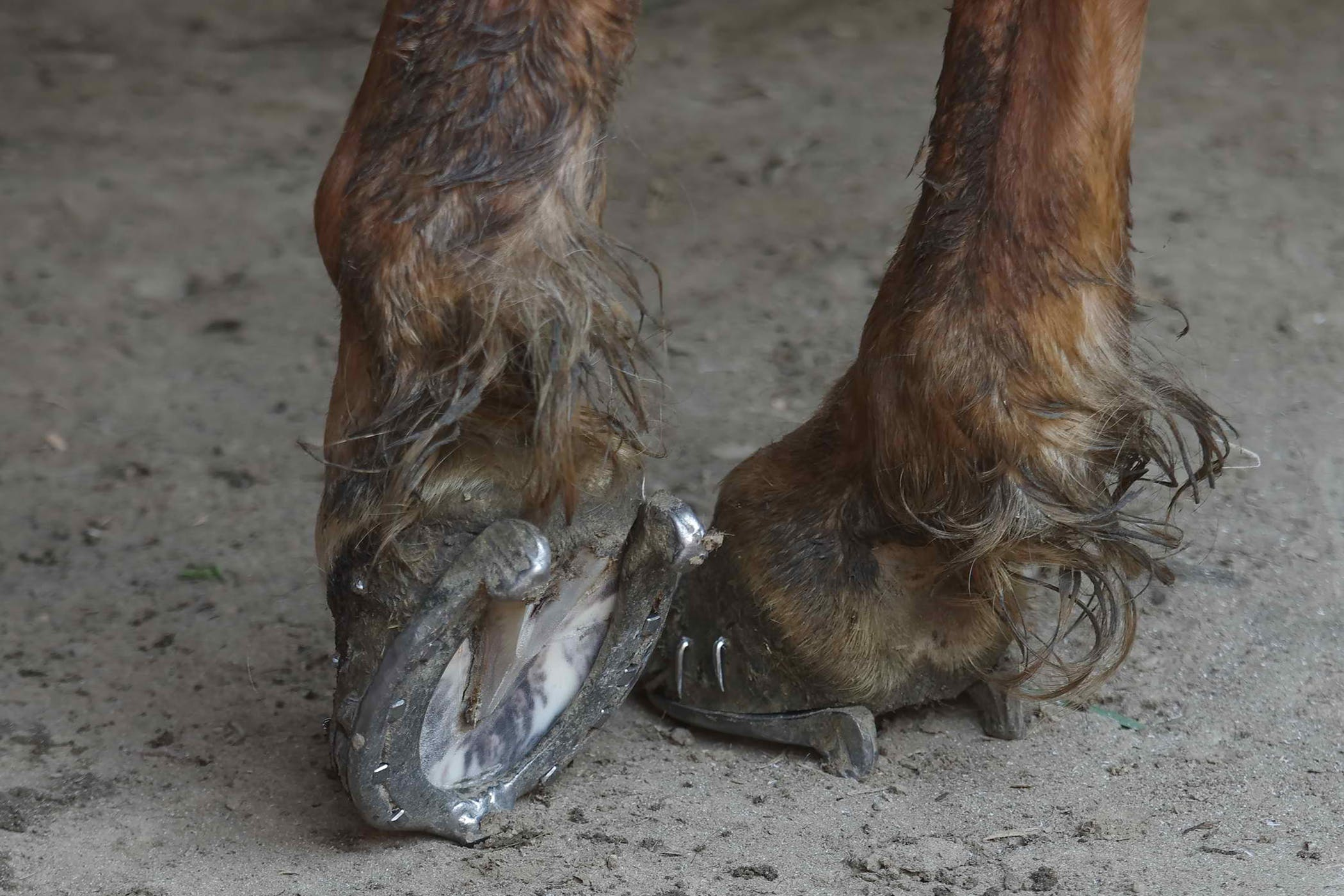 Fracture Of The Carpal Bones In Horses Symptoms Causes Diagnosis