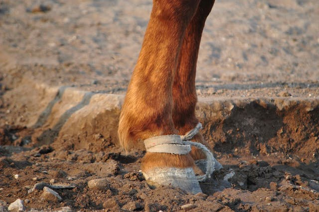 Fracture of the Distal Phalanx in Horses - Symptoms, Causes, Diagnosis, Treatment, Recovery, Management, Cost