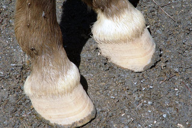 Fractures of the First and Second Phalanx in Horses - Symptoms, Causes, Diagnosis, Treatment, Recovery, Management, Cost