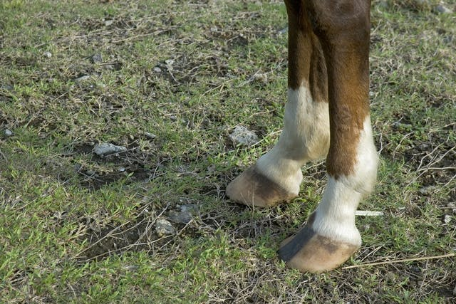 Fractures of the Stifle in Horses - Symptoms, Causes, Diagnosis, Treatment, Recovery, Management, Cost
