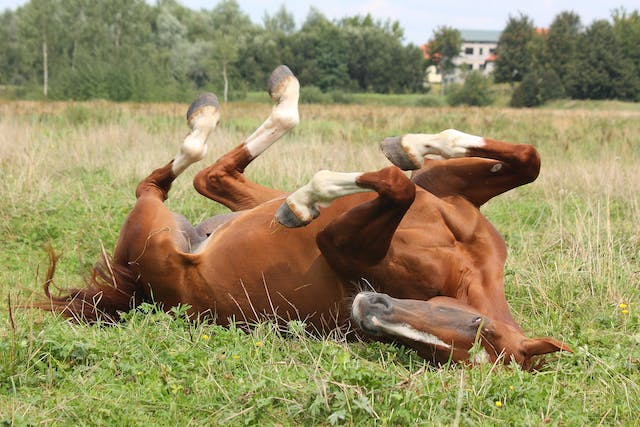 Gastrointestinal Obstruction in Horses - Symptoms, Causes, Diagnosis, Treatment, Recovery, Management, Cost