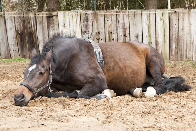 Gastrointestinal Parasites in Horses - Symptoms, Causes, Diagnosis, Treatment, Recovery, Management, Cost
