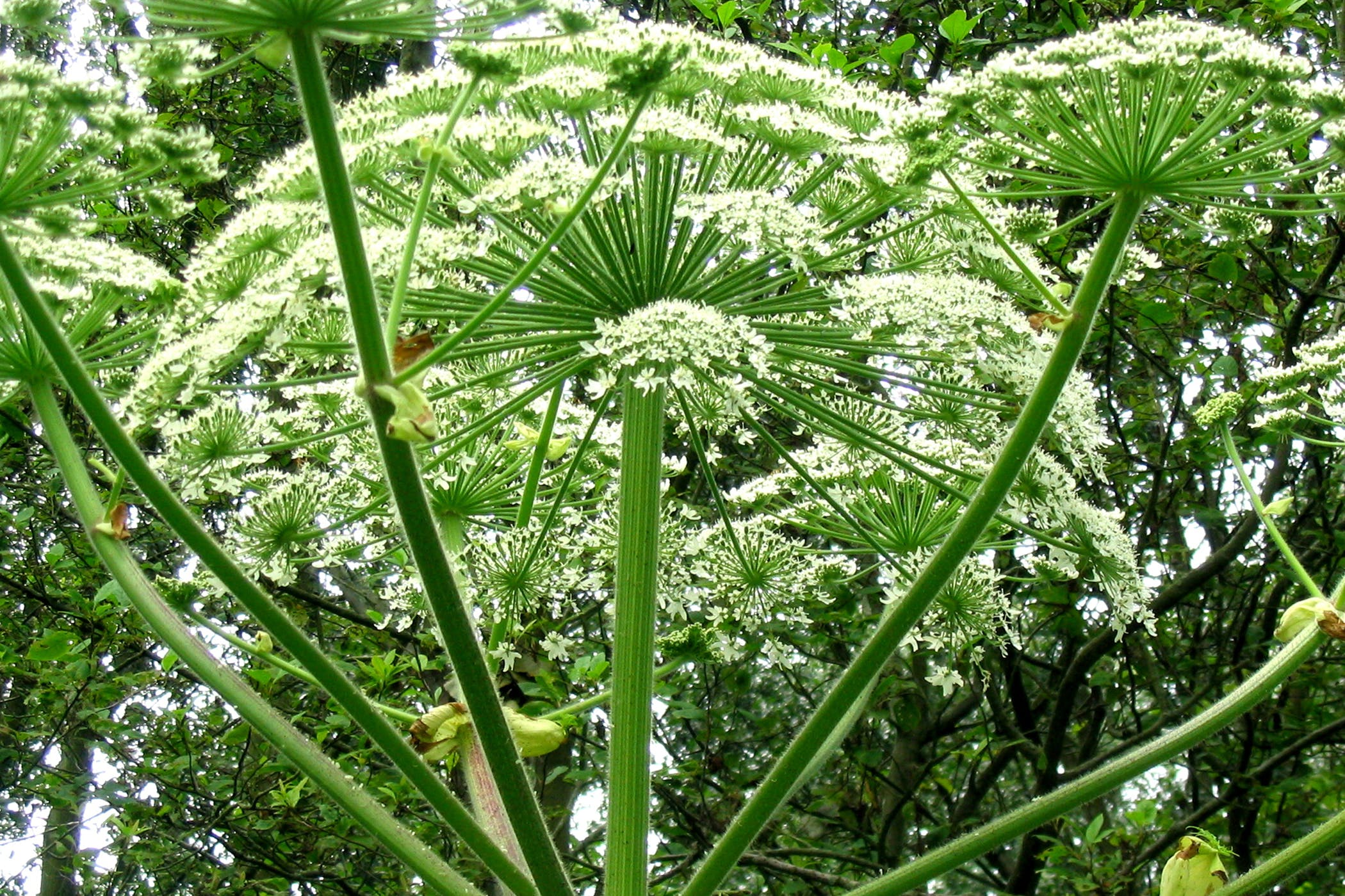 Giant Hogweed Poisoning In Horses Symptoms Causes Diagnosis