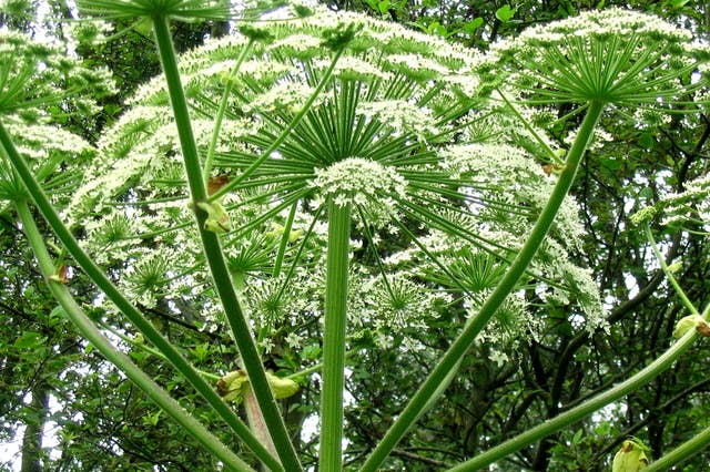 Giant Hogweed Poisoning in Horses - Symptoms, Causes, Diagnosis, Treatment, Recovery, Management, Cost