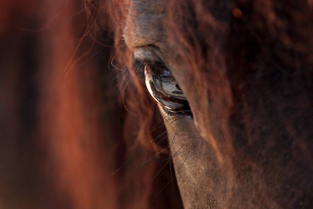 Glaucoma in Horses - Symptoms, Causes, Diagnosis, Treatment, Recovery, Management, Cost