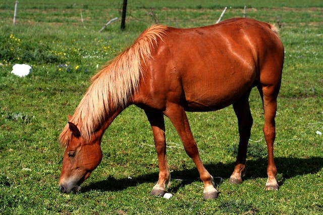 Grass Tetany in Horses - Symptoms, Causes, Diagnosis, Treatment, Recovery, Management, Cost