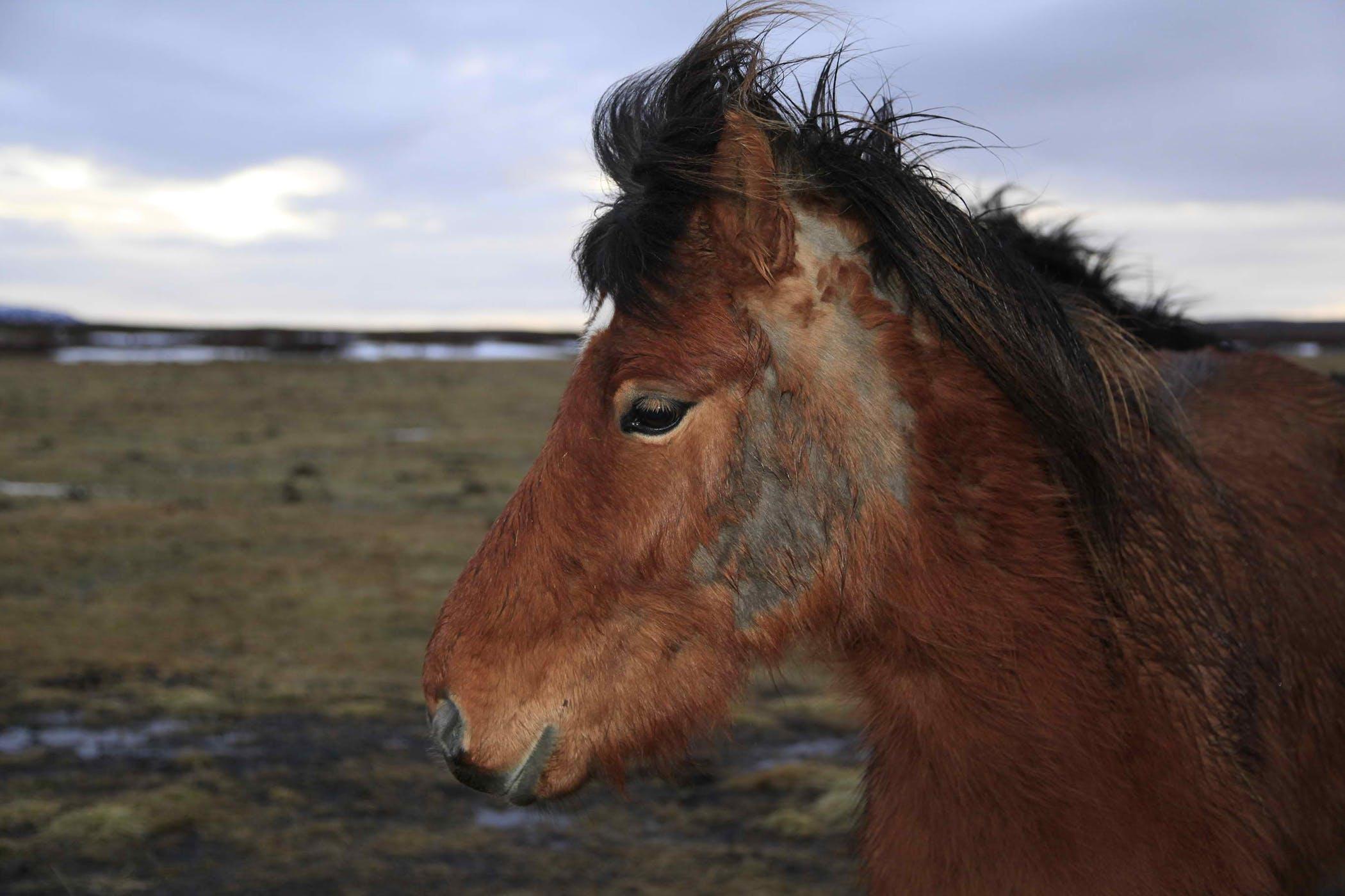 Hair Loss (Alopecia) in Horses - Symptoms, Causes, Diagnosis